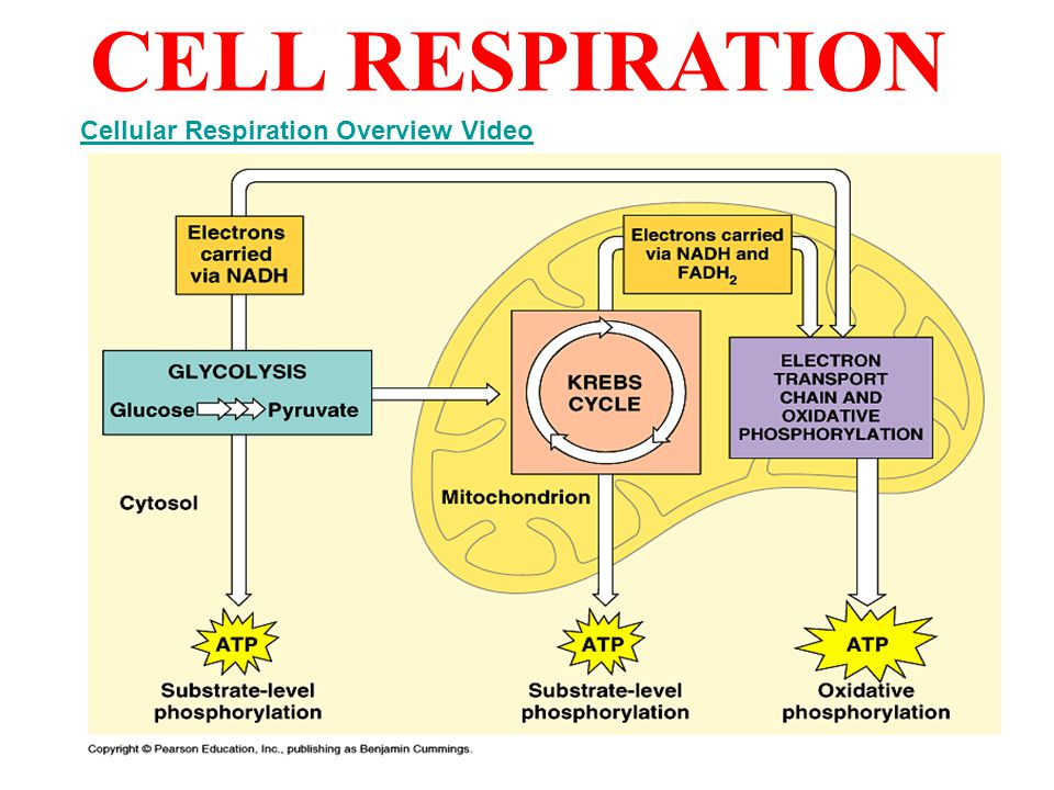 CELL RESPIRATION Cellular Respiration Overview Video