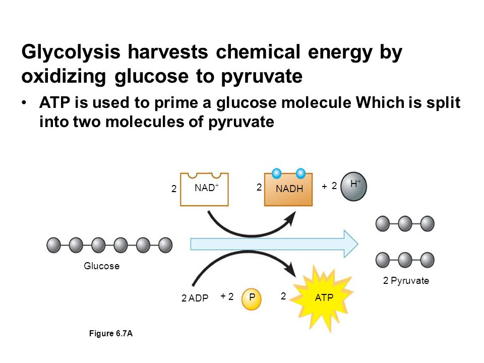 Glycolysis harvests chemical energy by oxidizing glucose to pyruvate