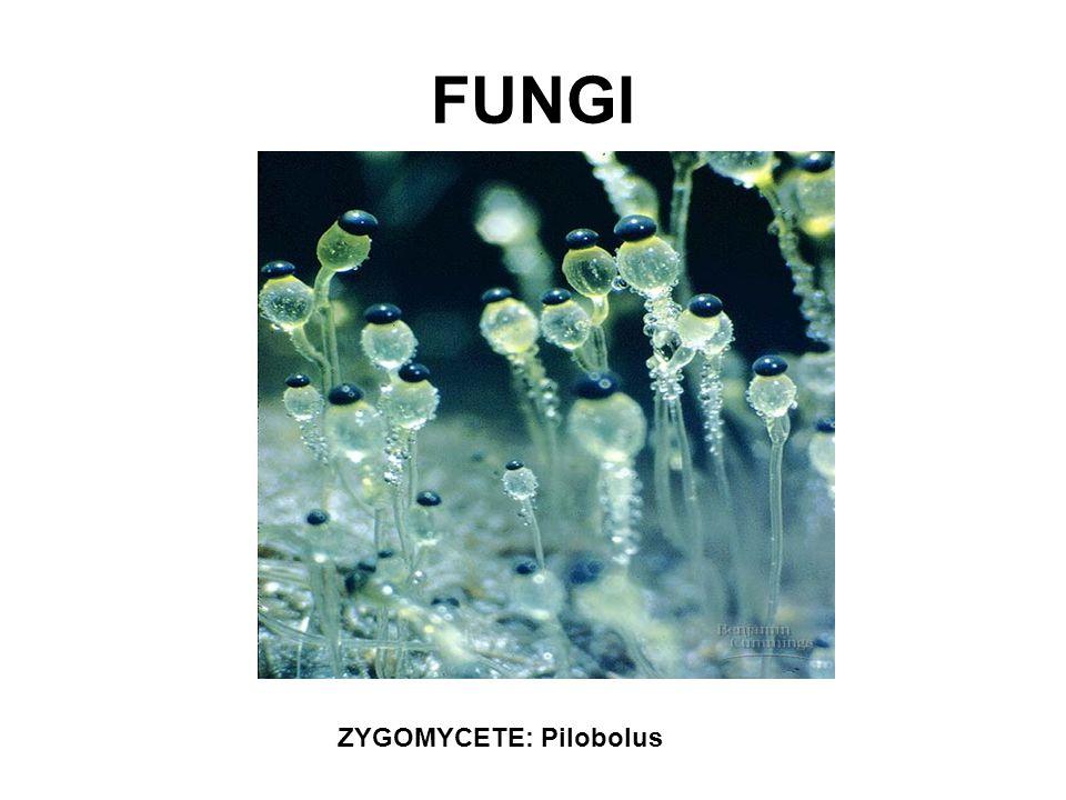 FUNGI ZYGOMYCETE: Pilobolus