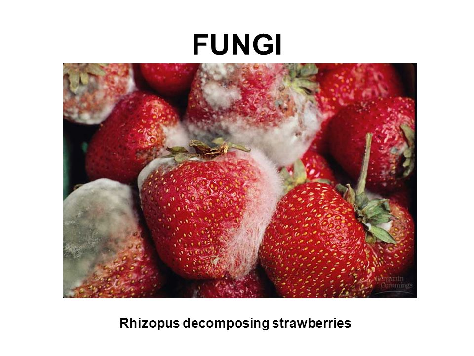 FUNGI Rhizopus decomposing strawberries
