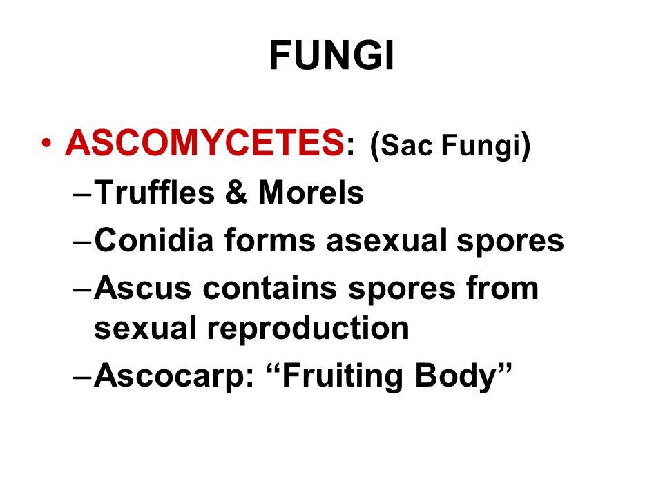 FUNGI ASCOMYCETES: (Sac Fungi) Truffles & Morels