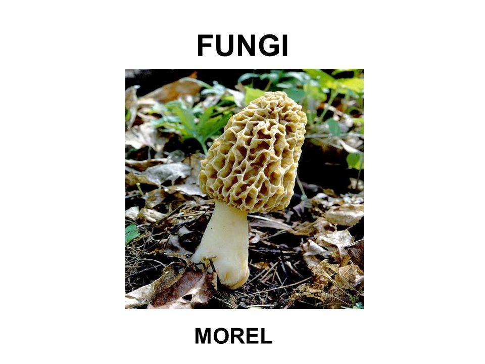 FUNGI MOREL