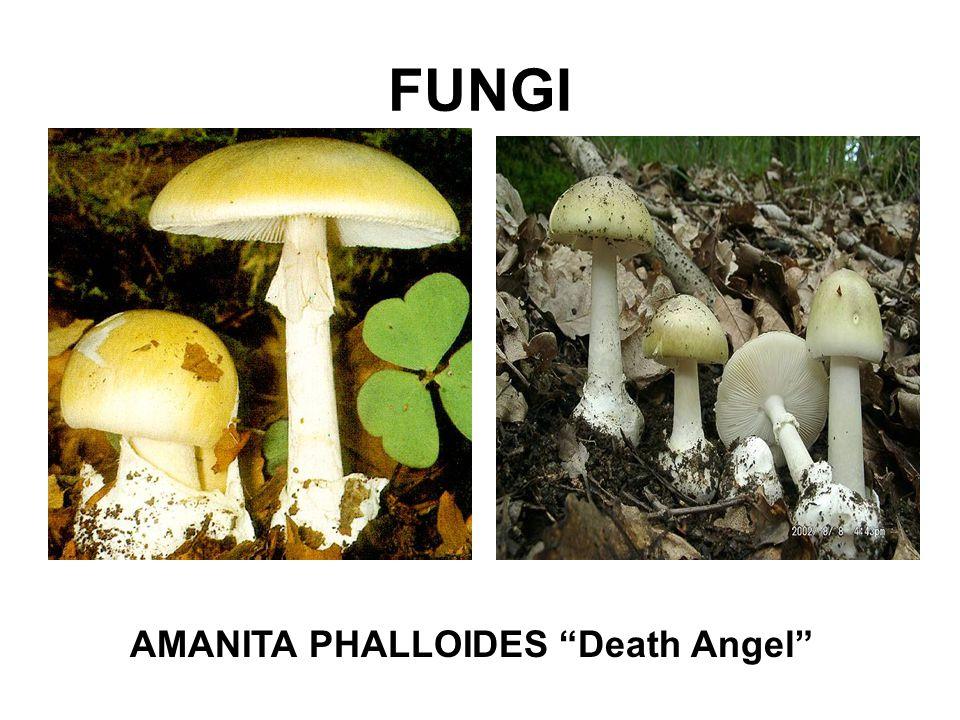 FUNGI AMANITA PHALLOIDES Death Angel