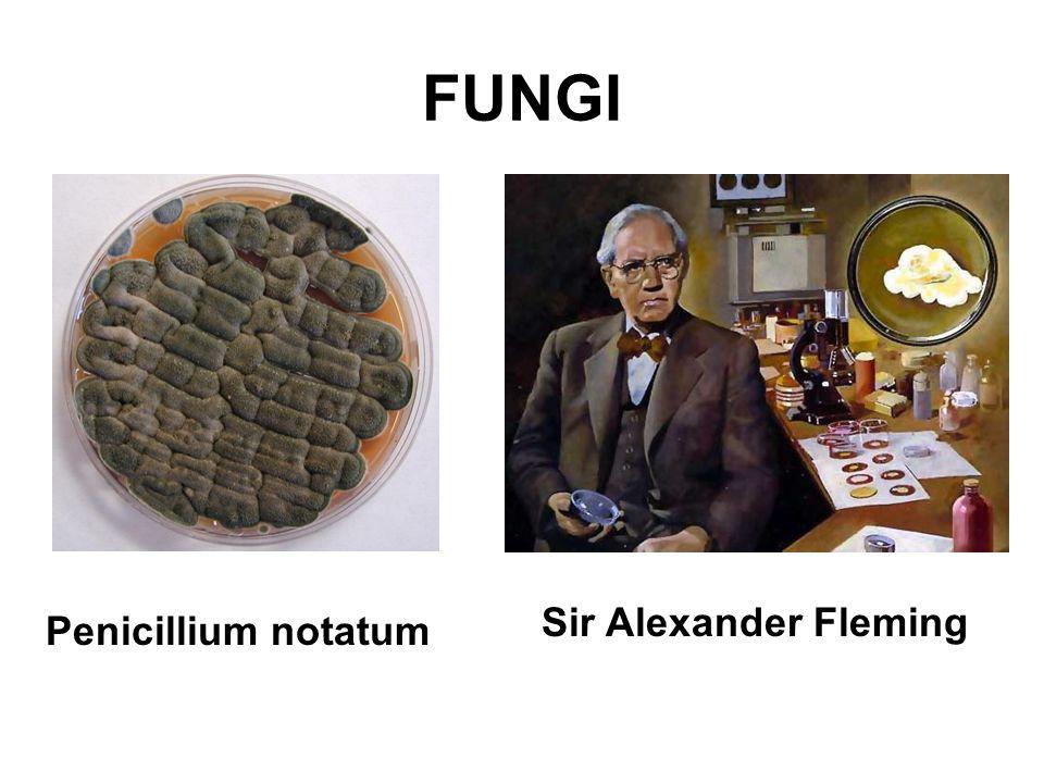 FUNGI Sir Alexander Fleming Penicillium notatum