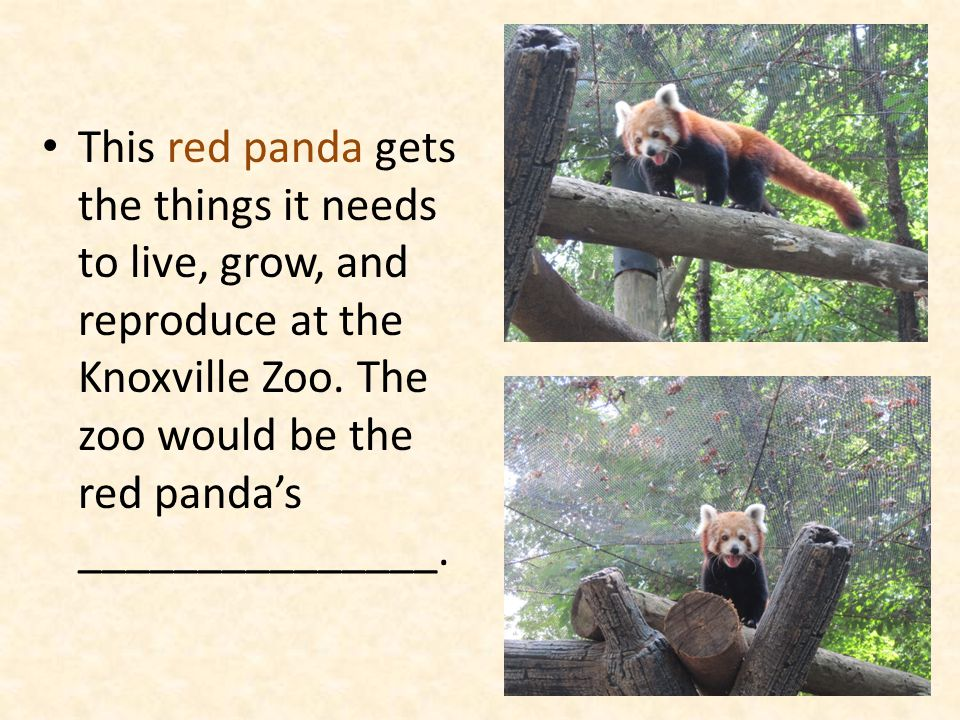 This red panda gets the things it needs to live, grow, and reproduce at the Knoxville Zoo.