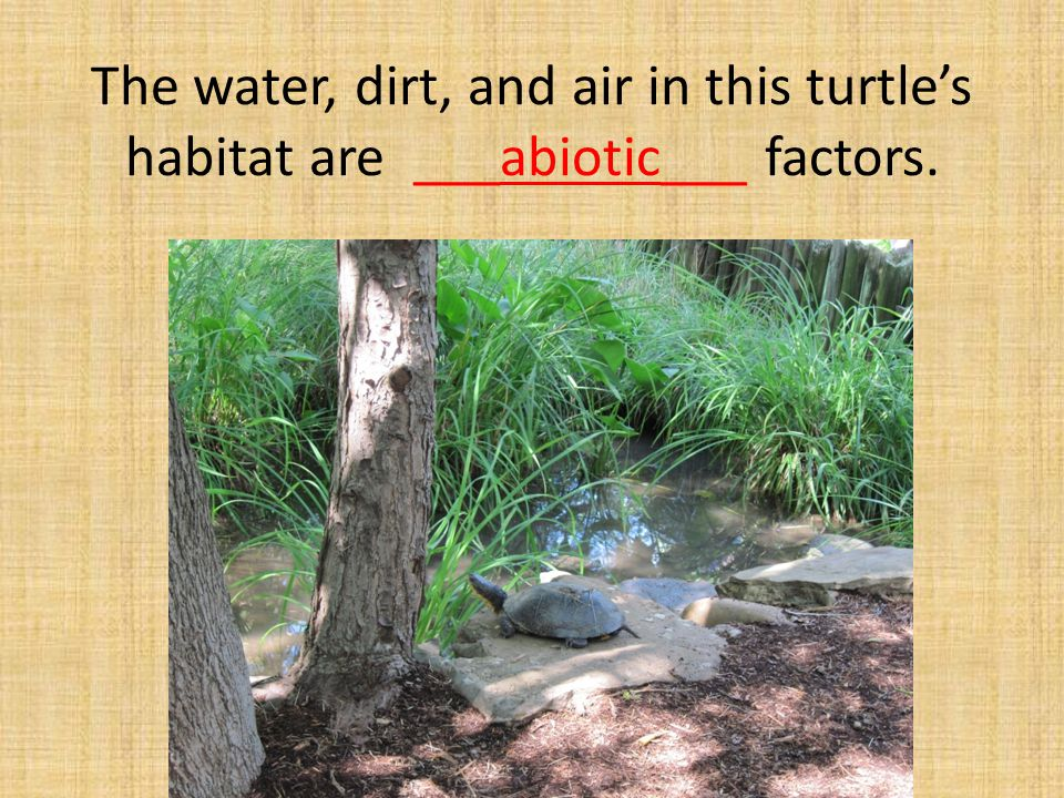 The water, dirt, and air in this turtle's habitat are ___abiotic___ factors.