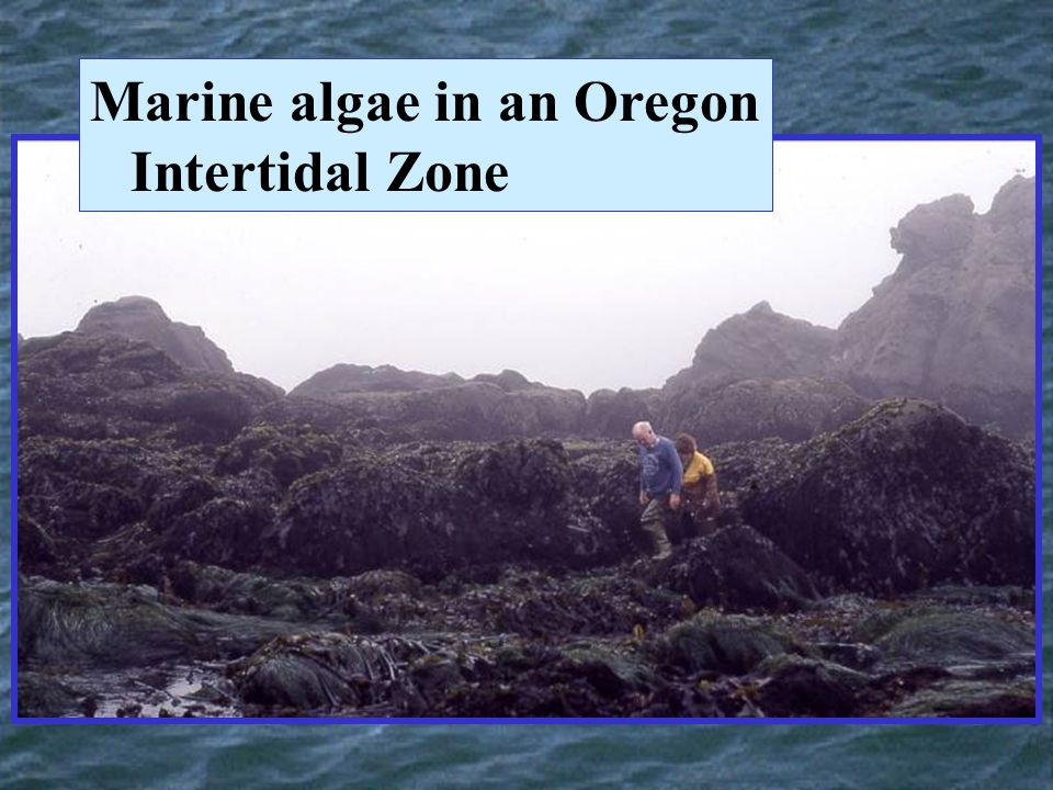 Marine algae in an Oregon Intertidal Zone