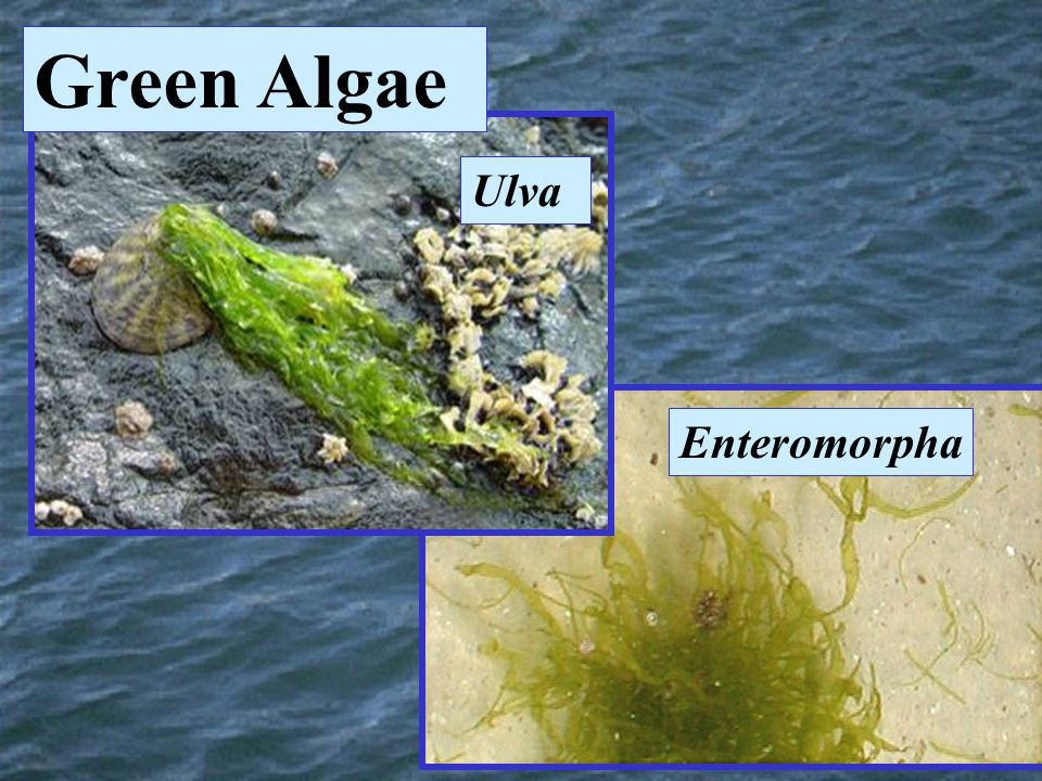 Green Algae Ulva Enteromorpha