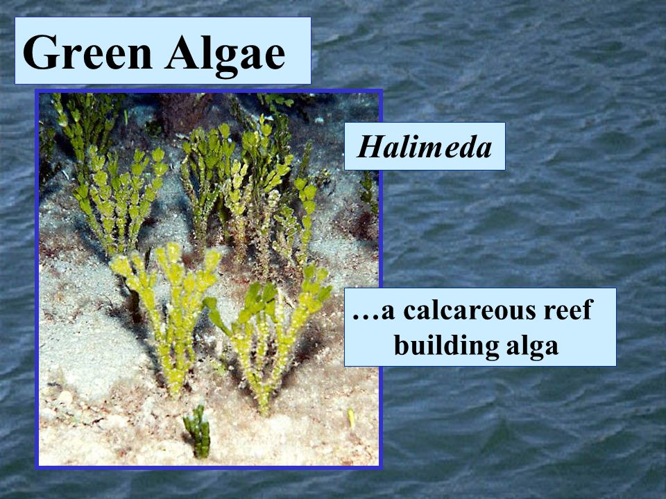 Green Algae Halimeda …a calcareous reef building alga