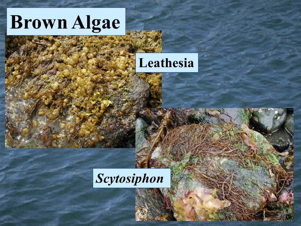 Brown Algae Leathesia Scytosiphon