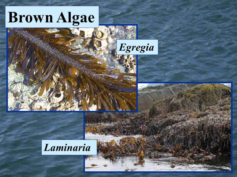Brown Algae Egregia Laminaria