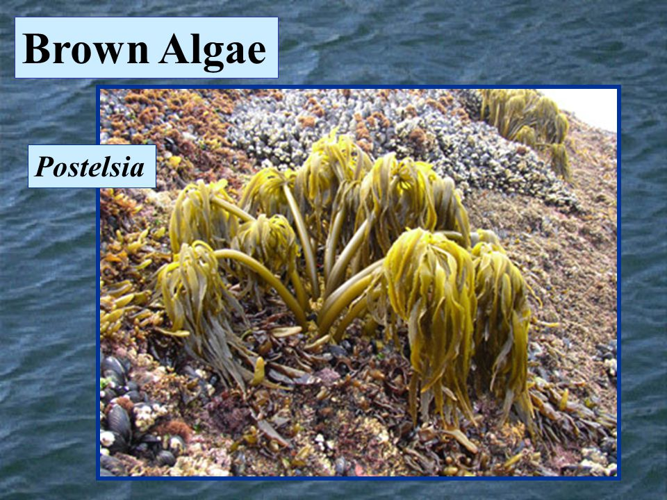 Brown Algae Postelsia
