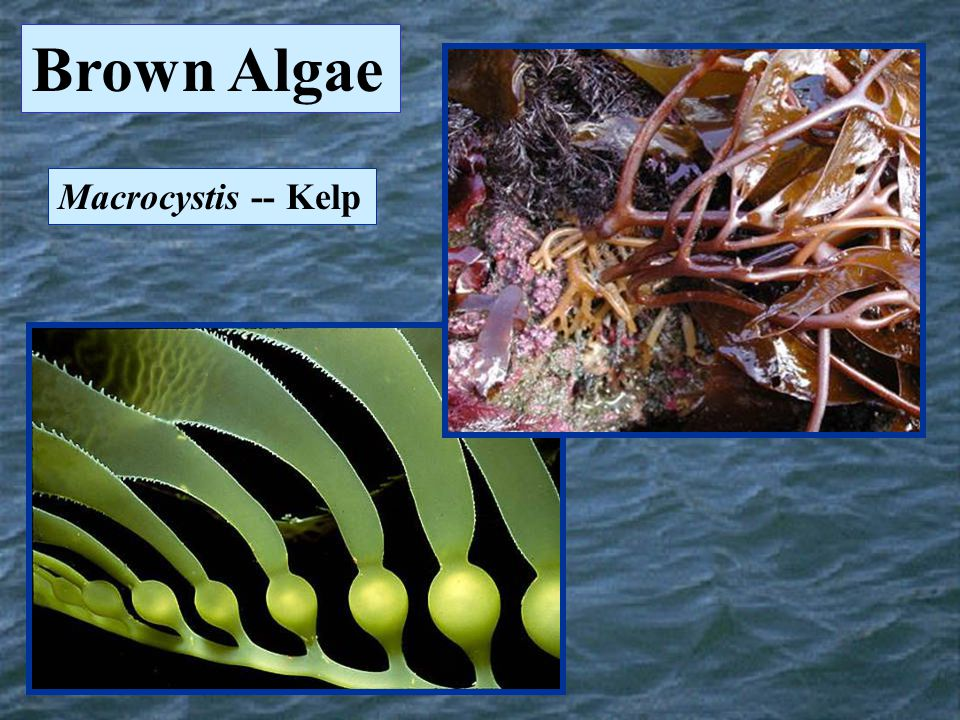 Brown Algae Macrocystis -- Kelp