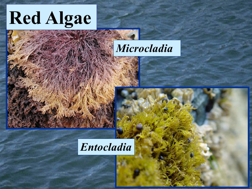 Red Algae Microcladia Entocladia