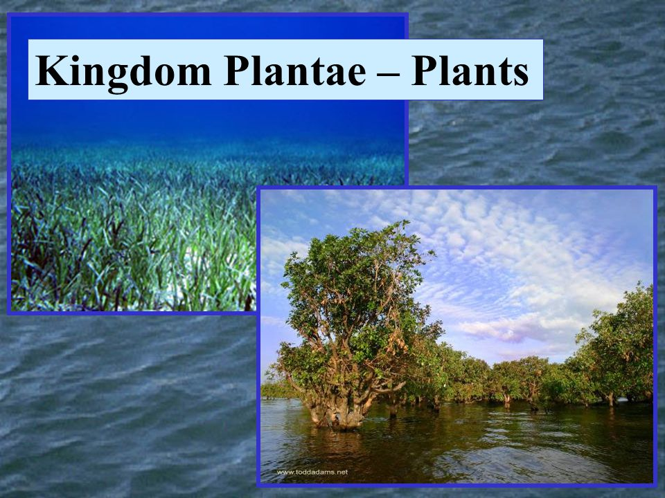 Kingdom Plantae – Plants