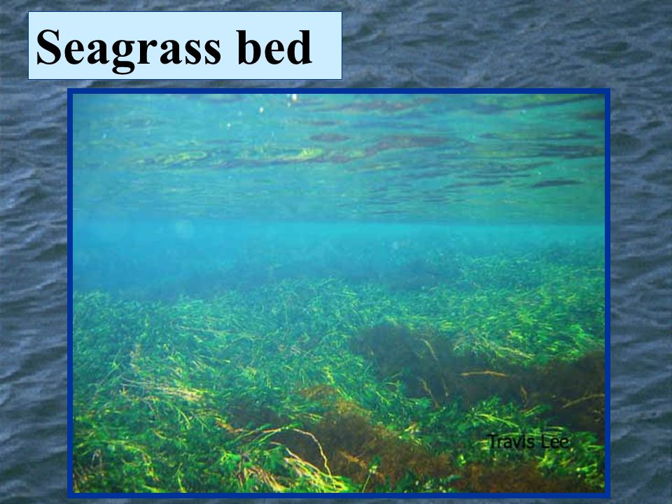 Seagrass bed