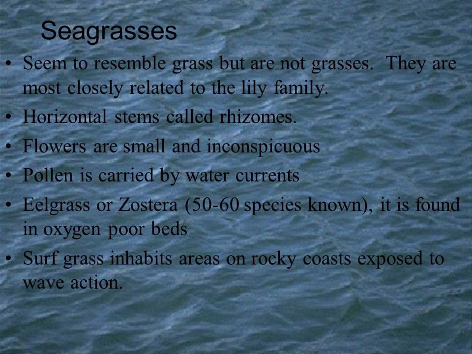 Seagrasses Seem to resemble grass but are not grasses. They are most closely related to the lily family.