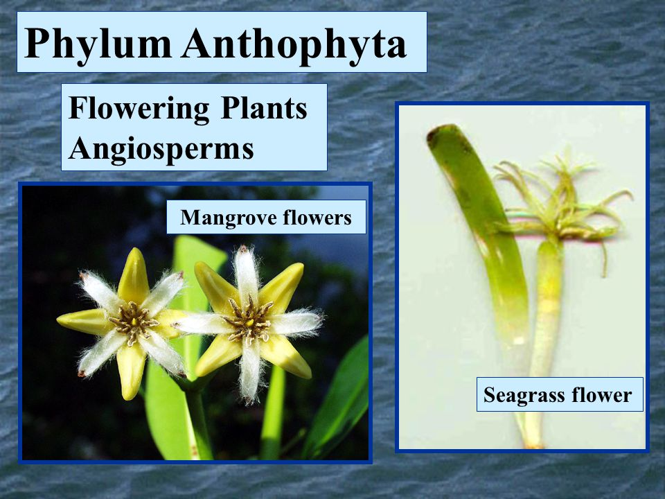 Phylum Anthophyta Flowering Plants Angiosperms Mangrove flowers