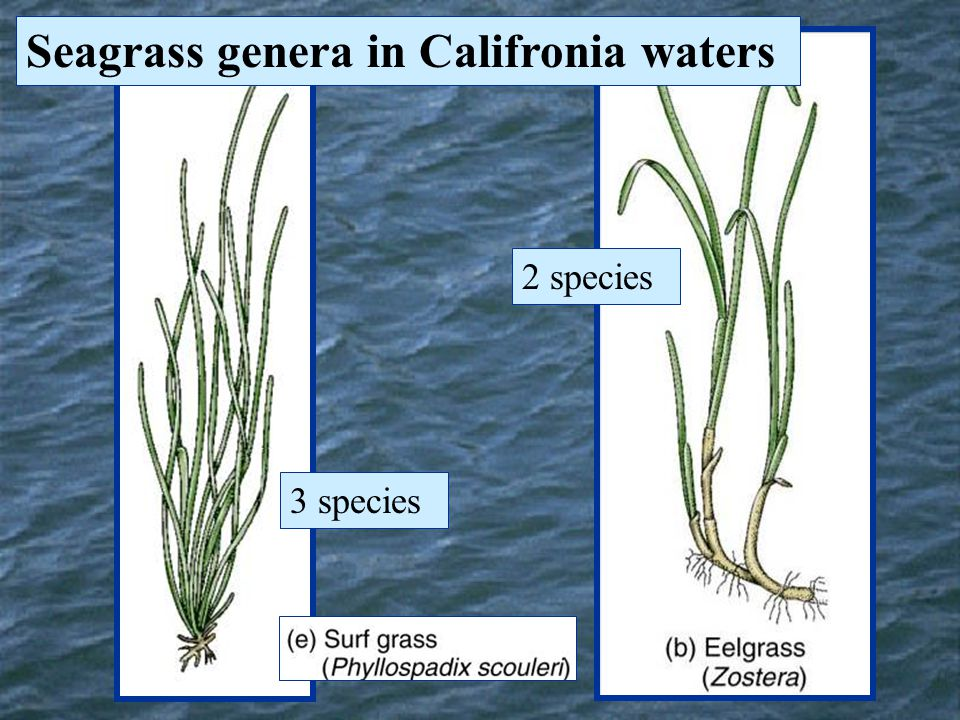 Seagrass genera in Califronia waters