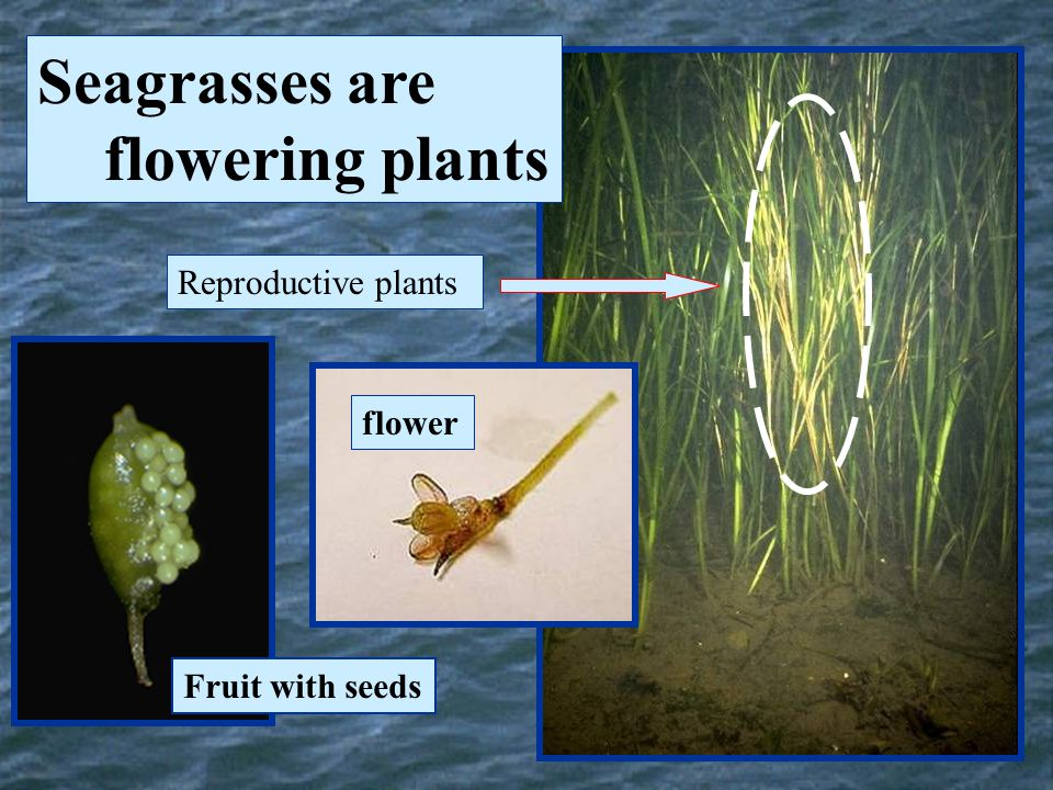 Seagrasses are flowering plants