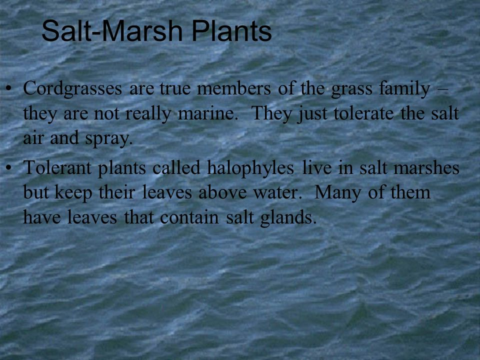 Salt-Marsh Plants Cordgrasses are true members of the grass family – they are not really marine. They just tolerate the salt air and spray.