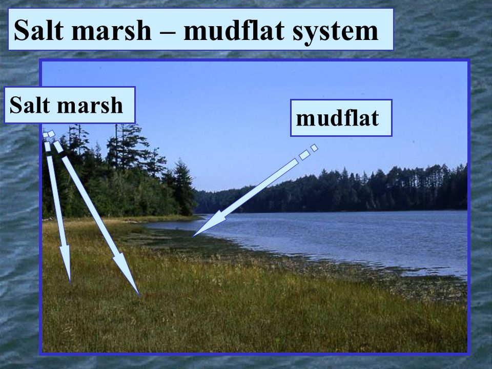 Salt marsh – mudflat system