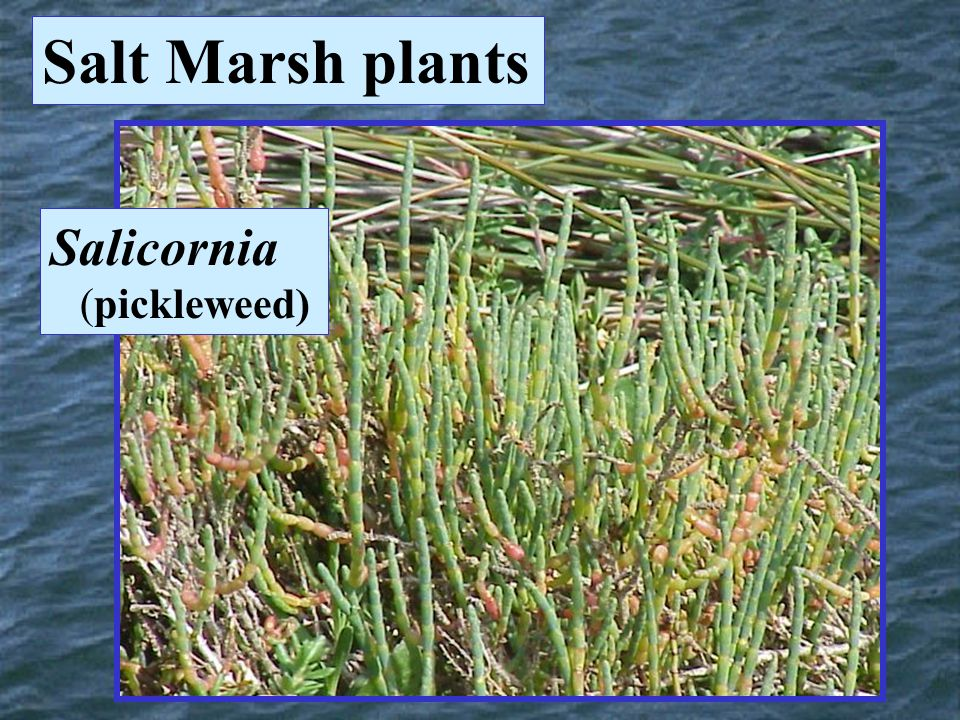 Salt Marsh plants Salicornia (pickleweed)