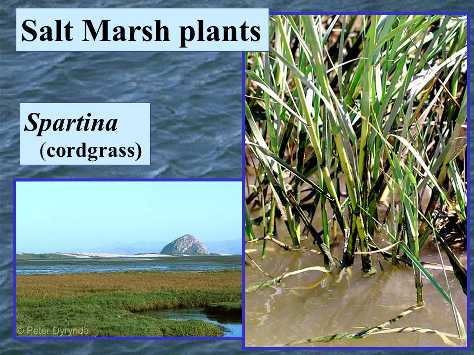 Salt Marsh plants Spartina (cordgrass)