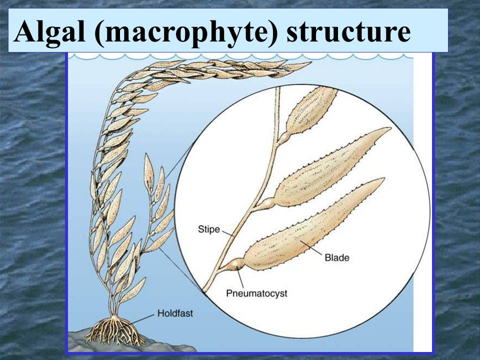 Algal (macrophyte) structure
