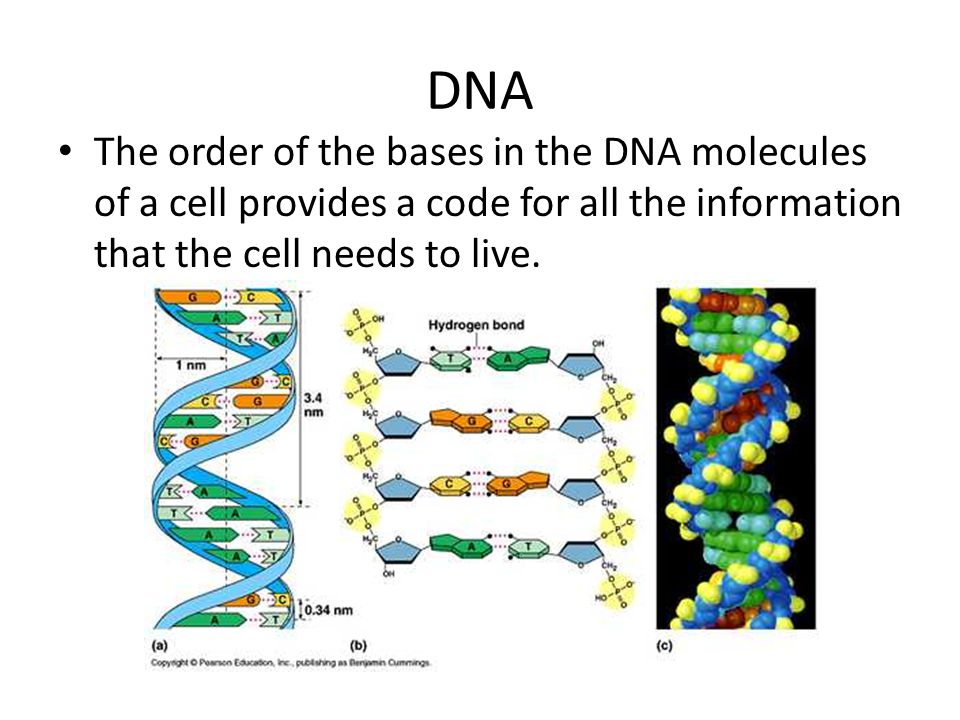 DNA The order of the bases in the DNA molecules of a cell provides a code for all the information that the cell needs to live.