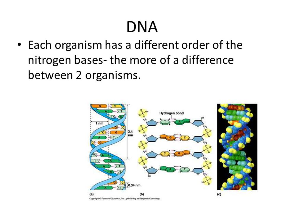 DNA Each organism has a different order of the nitrogen bases- the more of a difference between 2 organisms.