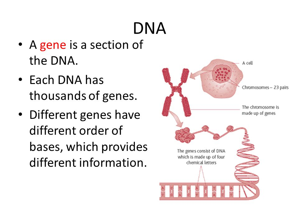 DNA A gene is a section of the DNA. Each DNA has thousands of genes.