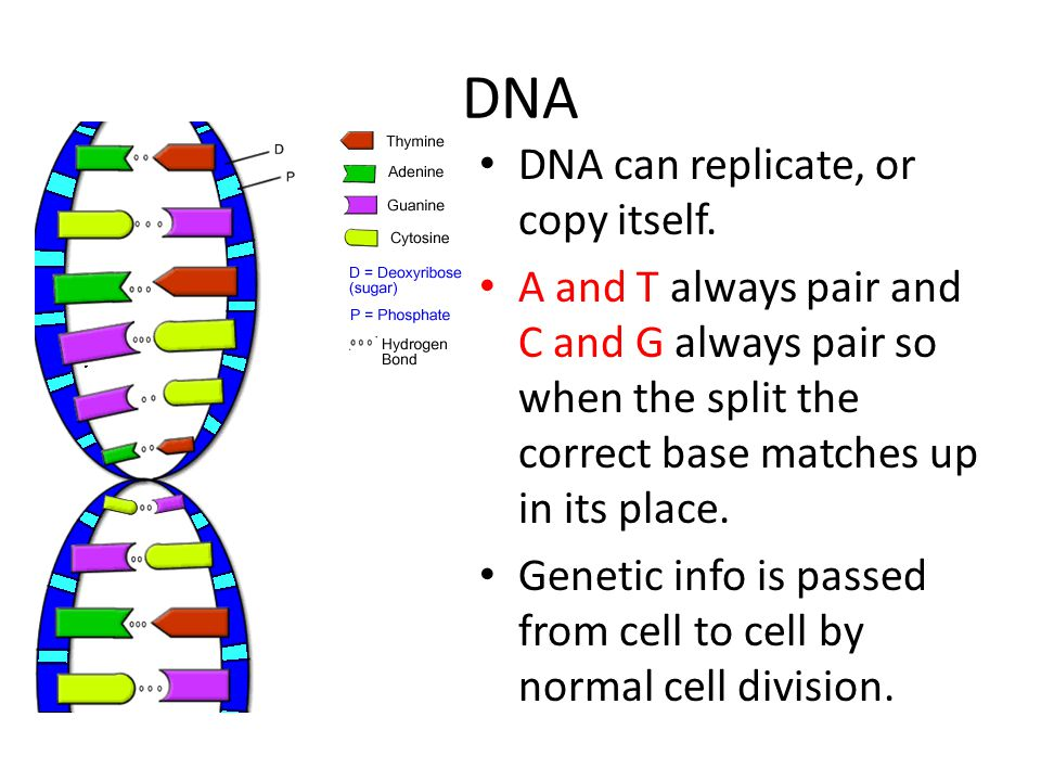 DNA DNA can replicate, or copy itself.