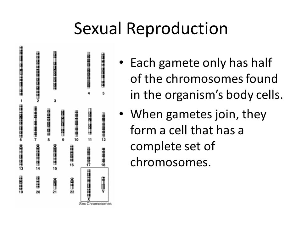 Sexual Reproduction Each gamete only has half of the chromosomes found in the organism's body cells.