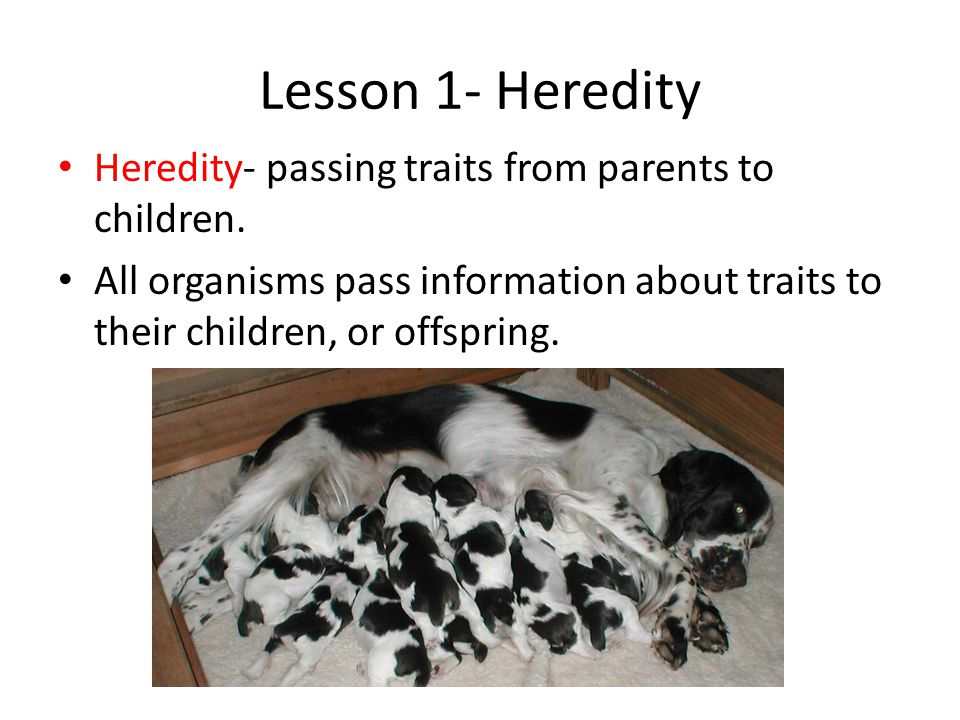 Lesson 1- Heredity Heredity- passing traits from parents to children.