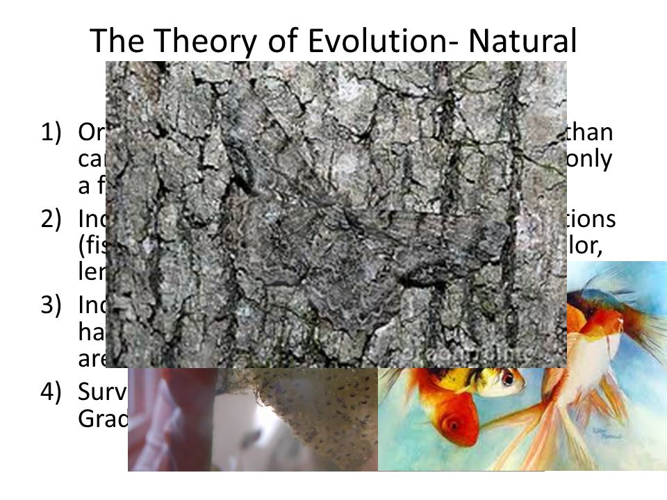 The Theory of Evolution- Natural Selection
