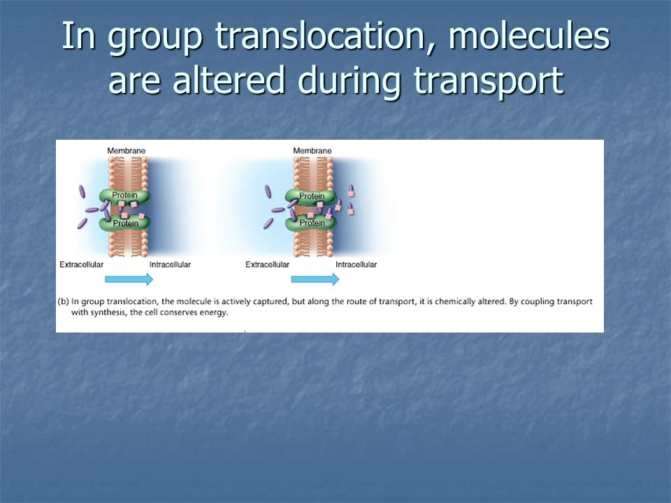 In group translocation, molecules are altered during transport