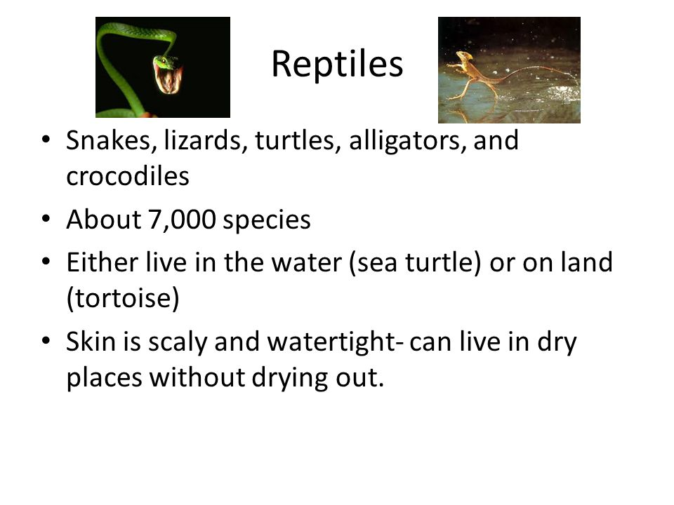 Reptiles Snakes, lizards, turtles, alligators, and crocodiles