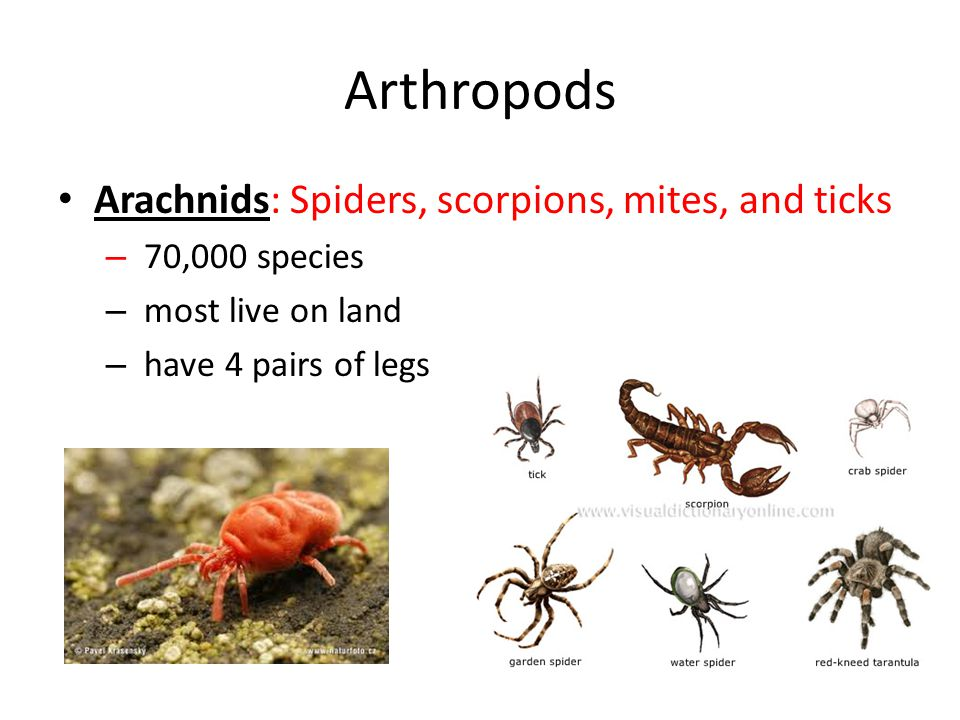 Arthropods Arachnids: Spiders, scorpions, mites, and ticks