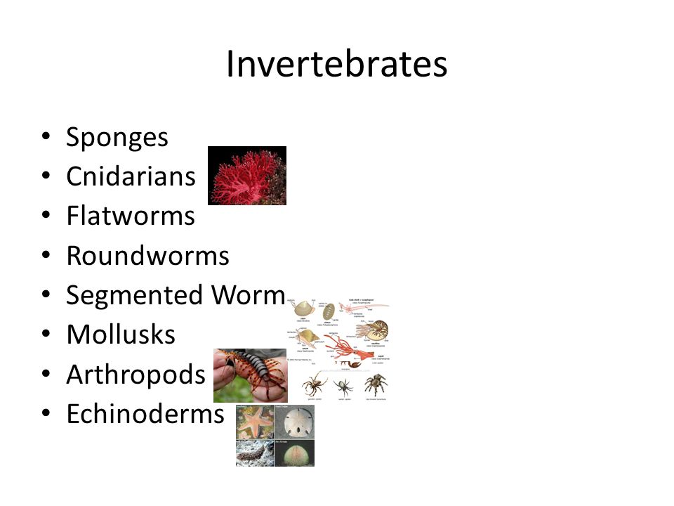 Invertebrates Sponges Cnidarians Flatworms Roundworms Segmented Worm