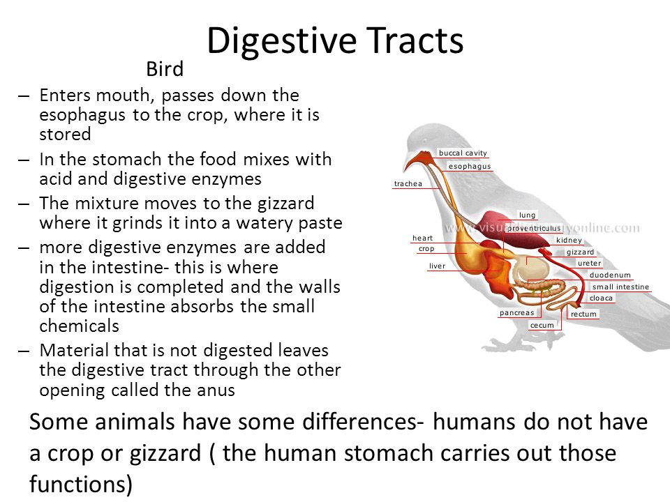 Digestive Tracts Bird. Enters mouth, passes down the esophagus to the crop, where it is stored.