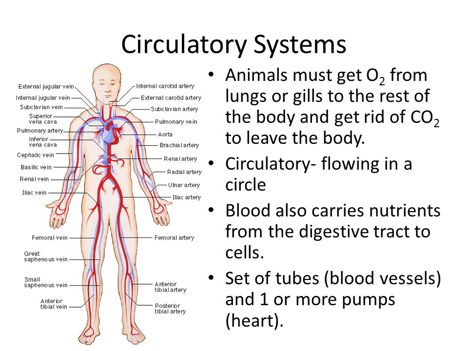 Circulatory Systems Animals must get O2 from lungs or gills to the rest of the body and get rid of CO2 to leave the body.
