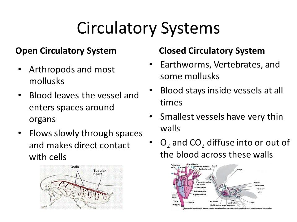 Circulatory Systems Open Circulatory System Closed Circulatory System