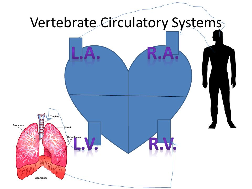 Vertebrate Circulatory Systems
