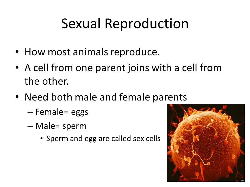 Sexual Reproduction How most animals reproduce.