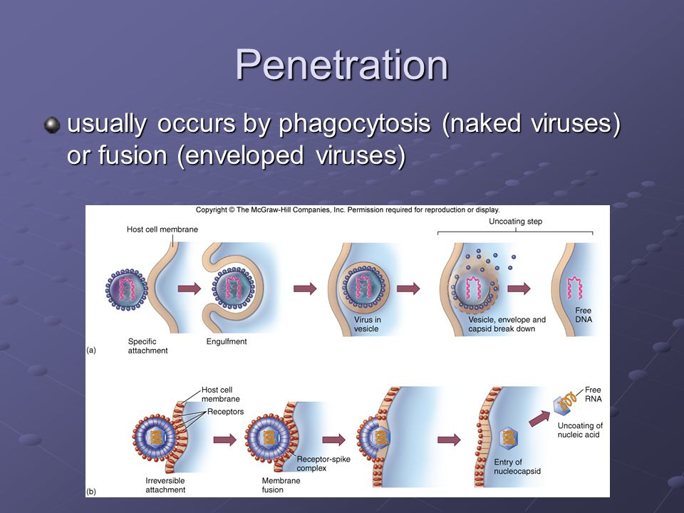 Penetration usually occurs by phagocytosis (naked viruses) or fusion (enveloped viruses)