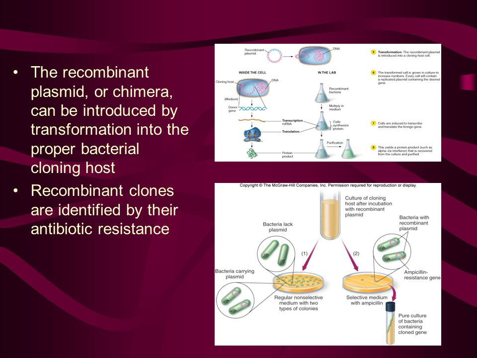 The recombinant plasmid, or chimera, can be introduced by transformation into the proper bacterial cloning host
