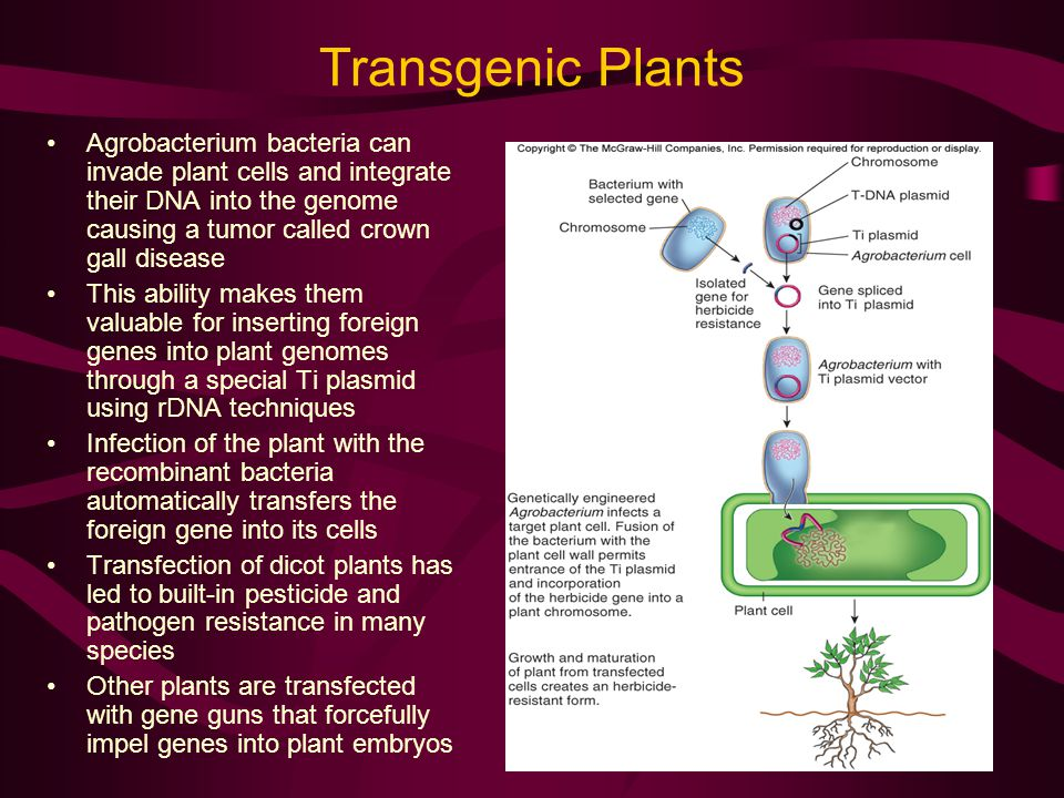 Transgenic Plants Agrobacterium bacteria can invade plant cells and integrate their DNA into the genome causing a tumor called crown gall disease.