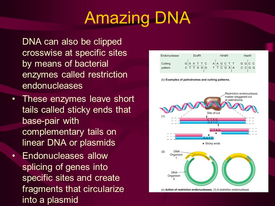 Amazing DNA DNA can also be clipped crosswise at specific sites by means of bacterial enzymes called restriction endonucleases.