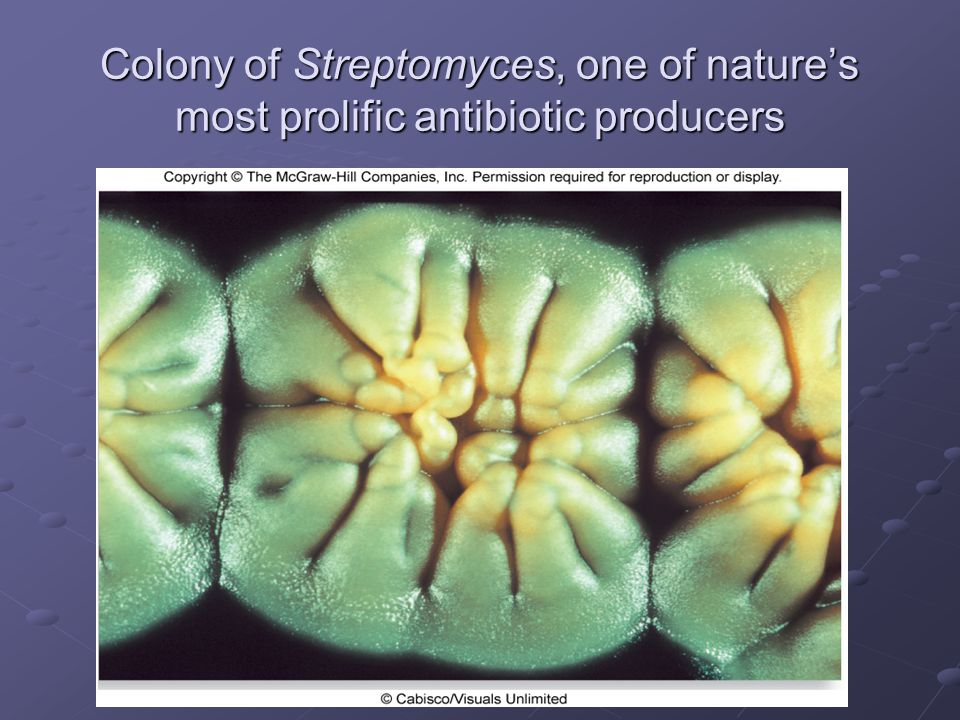 Colony of Streptomyces, one of nature's most prolific antibiotic producers